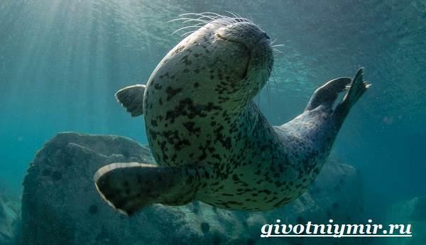 Тюлень-животное-Образ-жизни-и-среда-обитания-тюленя-4