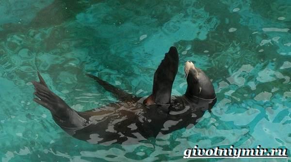 Тюлень-животное-Образ-жизни-и-среда-обитания-тюленя-5