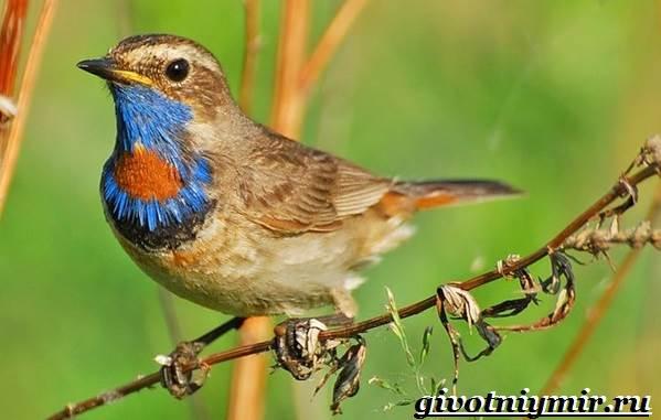 Варакушка-птица-Образ-жизни-и-среда-обитания-птицы-варакушки-1