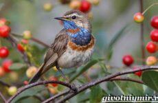 Варакушка птица. Образ жизни и среда обитания птицы варакушки