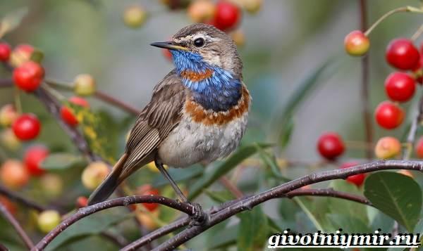 Варакушка-птица-Образ-жизни-и-среда-обитания-птицы-варакушки-2