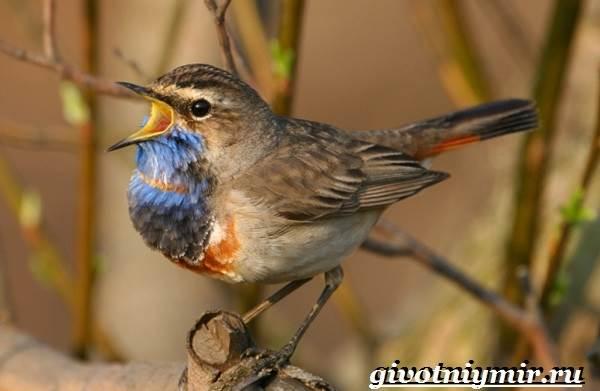 Варакушка-птица-Образ-жизни-и-среда-обитания-птицы-варакушки-3