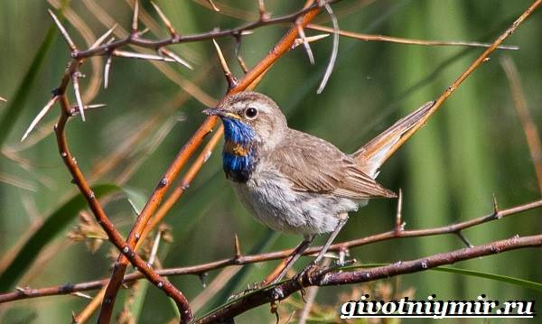 Варакушка-птица-Образ-жизни-и-среда-обитания-птицы-варакушки-4