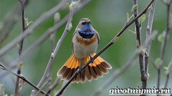Варакушка-птица-Образ-жизни-и-среда-обитания-птицы-варакушки-5