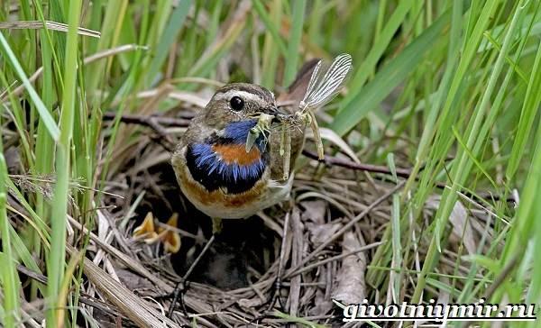 Варакушка-птица-Образ-жизни-и-среда-обитания-птицы-варакушки-7