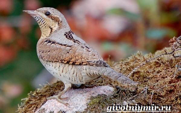 Вертишейка-птица-Образ-жизни-и-среда-обитания-вертишейки-1