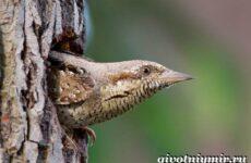 Вертишейка птица. Образ жизни и среда обитания вертишейки
