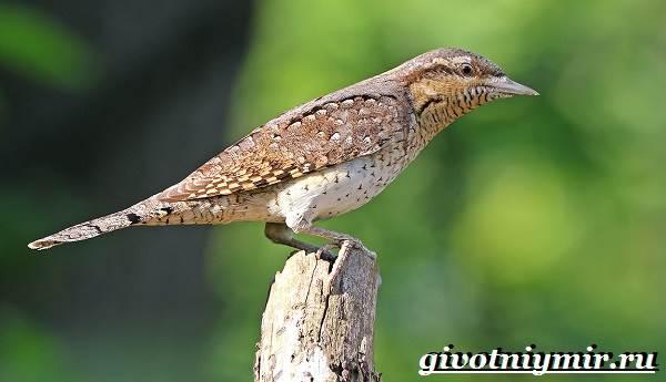 фото вертишейка птица