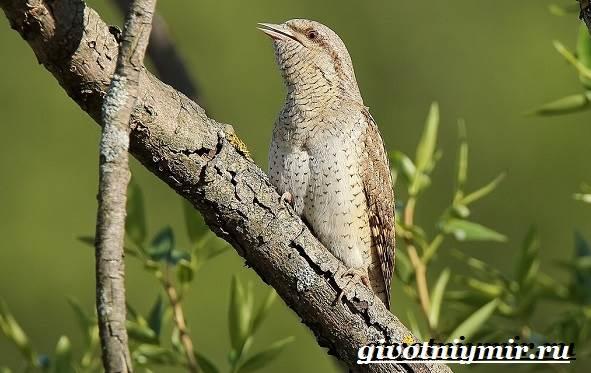 Вертишейка-птица-Образ-жизни-и-среда-обитания-вертишейки-4