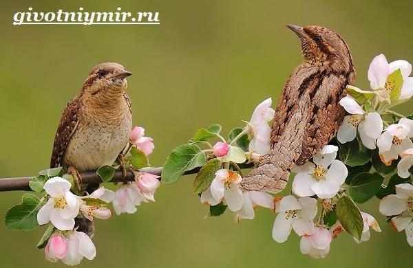 Вертишейка-птица-Образ-жизни-и-среда-обитания-вертишейки-5