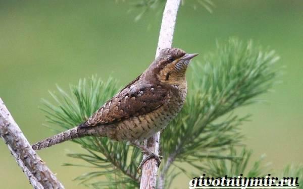 Вертишейка-птица-Образ-жизни-и-среда-обитания-вертишейки-6