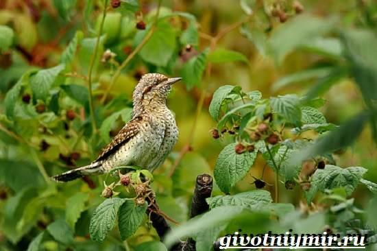 Вертишейка-птица-Образ-жизни-и-среда-обитания-вертишейки-8