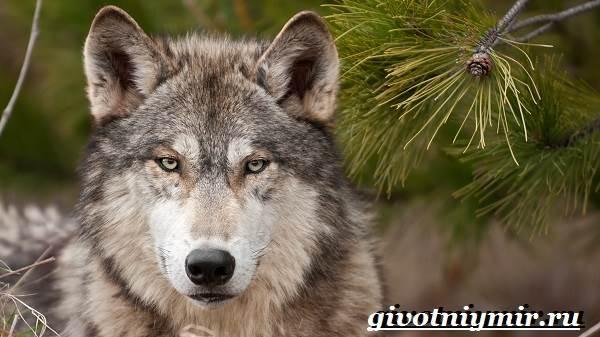 Волк-животное-Образ-жизни-и-среда-обитания-волка-1