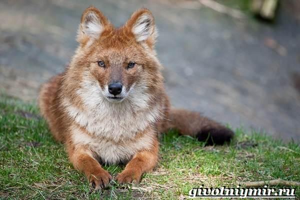 Волк-животное-Образ-жизни-и-среда-обитания-волка-10