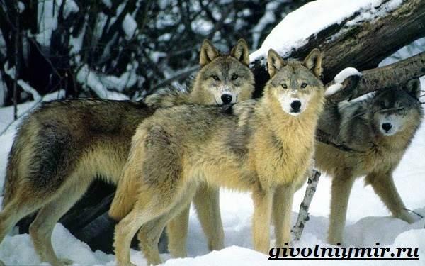 Волк-животное-Образ-жизни-и-среда-обитания-волка-2