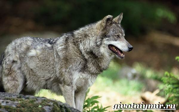 Волк-животное-Образ-жизни-и-среда-обитания-волка-3