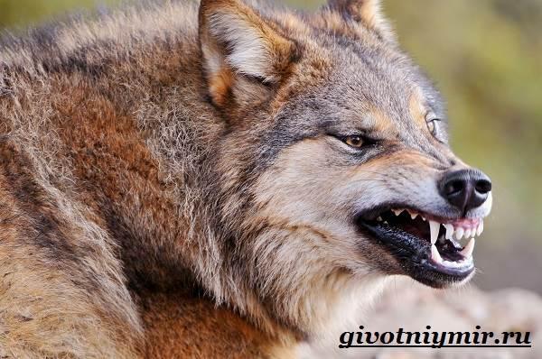 Волк-животное-Образ-жизни-и-среда-обитания-волка-4
