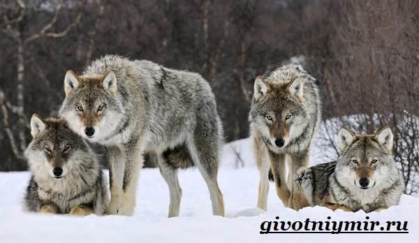 Волк-животное-Образ-жизни-и-среда-обитания-волка-6