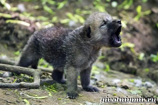 Волк-животное-Образ-жизни-и-среда-обитания-волка-8