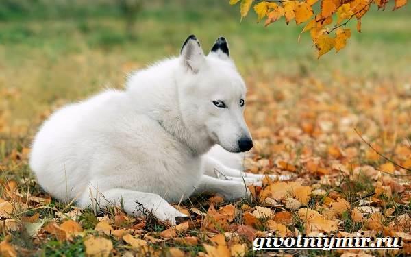 Волк-животное-Образ-жизни-и-среда-обитания-волка-9