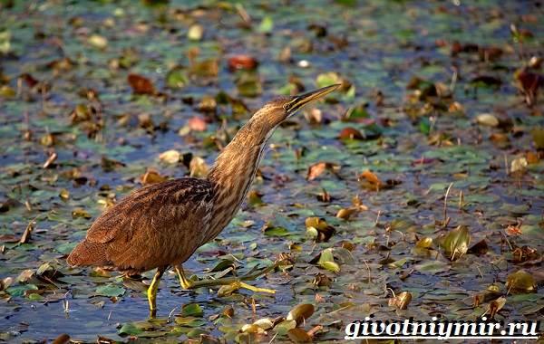 Выпь-птица-Образ-жизни-и-среда-обитания-выпи-2