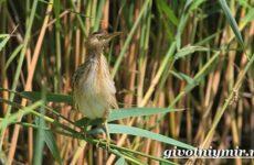 Выпь птица. Образ жизни и среда обитания выпи