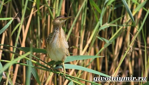 Выпь-птица-Образ-жизни-и-среда-обитания-выпи-3