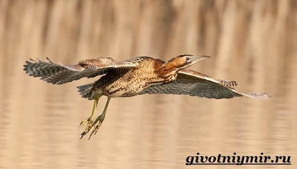 Выпь-птица-Образ-жизни-и-среда-обитания-выпи-5