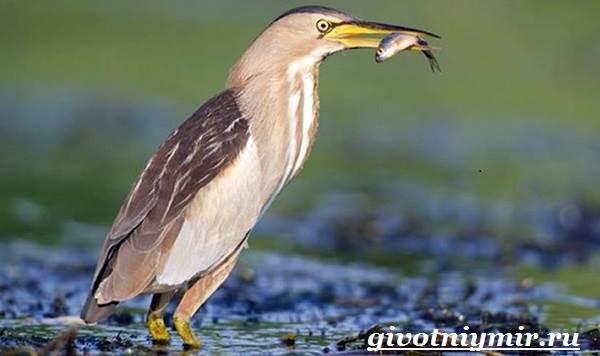 Выпь-птица-Образ-жизни-и-среда-обитания-выпи-6
