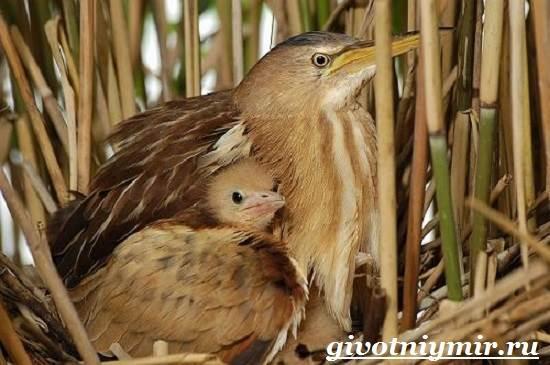 Выпь-птица-Образ-жизни-и-среда-обитания-выпи-7