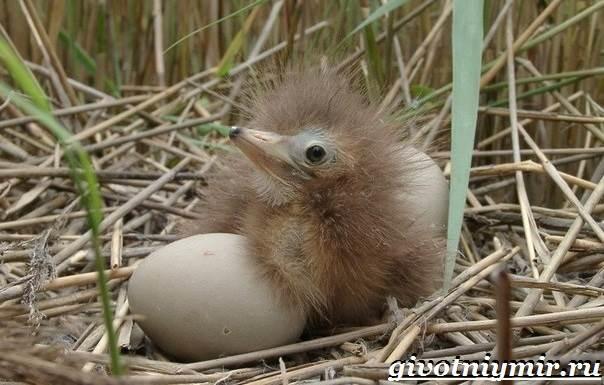 Выпь-птица-Образ-жизни-и-среда-обитания-выпи-8