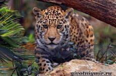 Ягуар животное. Образ жизни и среда обитания ягуара