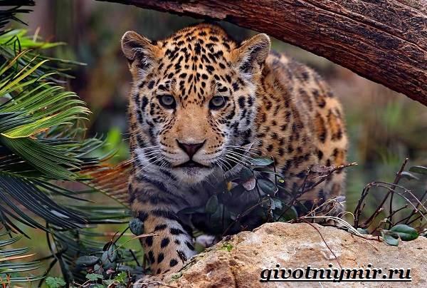 Ягуар-животное-Образ-жизни-и-среда-обитания-ягуара-1