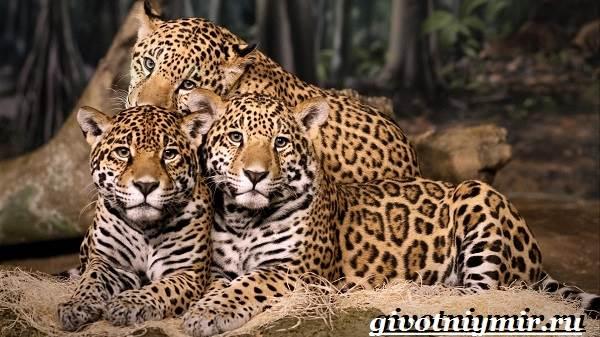 Ягуар-животное-Образ-жизни-и-среда-обитания-ягуара-4