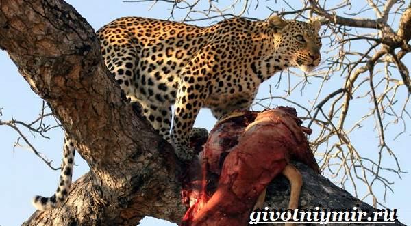 Ягуар-животное-Образ-жизни-и-среда-обитания-ягуара-7