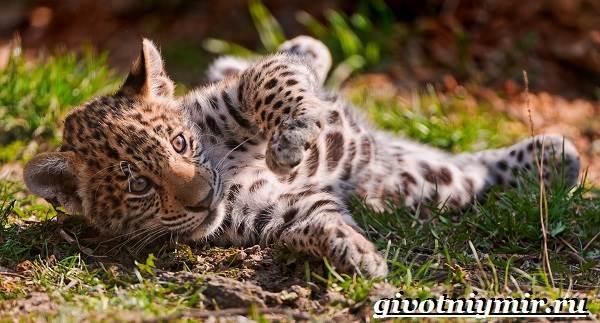 Ягуар-животное-Образ-жизни-и-среда-обитания-ягуара-8