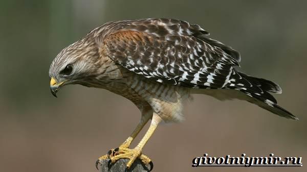 Ястреб-птица-Образ-жизни-и-среда-обитания-ястреба-1