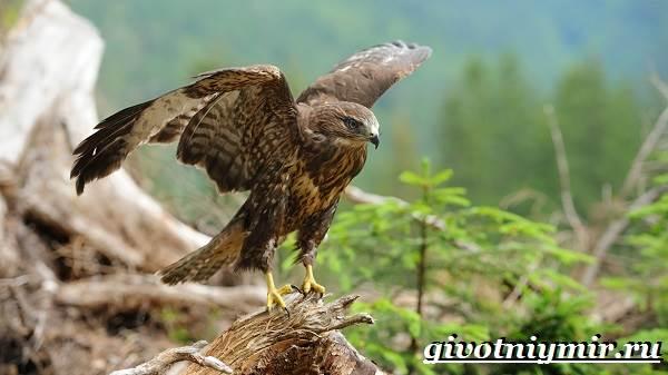 Ястреб-птица-Образ-жизни-и-среда-обитания-ястреба-2