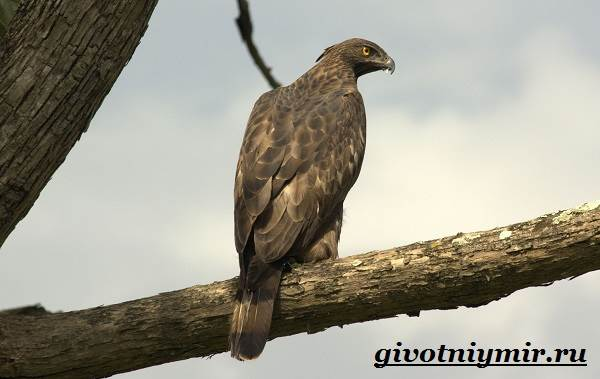 Ястреб-птица-Образ-жизни-и-среда-обитания-ястреба-4
