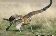 Змееяд птица. Образ жизни и среда обитания змееяда