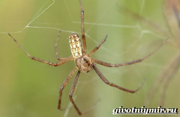 Агриопа-паук-Образ-жизни-и-среда-обитания-агриопы-2