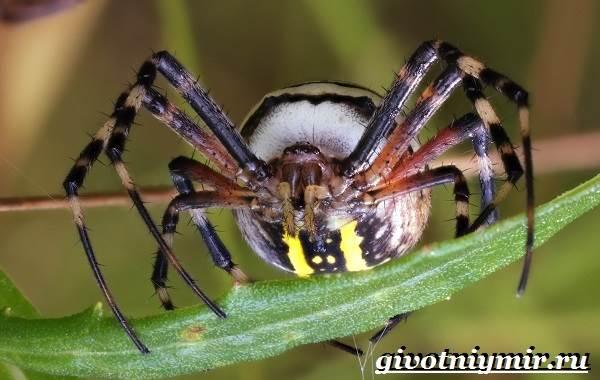 Агриопа-паук-Образ-жизни-и-среда-обитания-агриопы-5