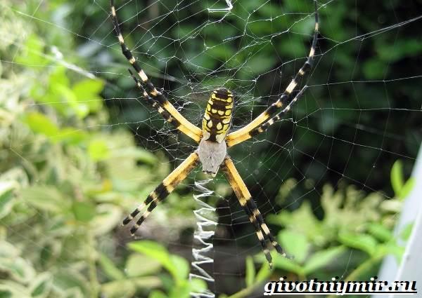 Агриопа-паук-Образ-жизни-и-среда-обитания-агриопы-7