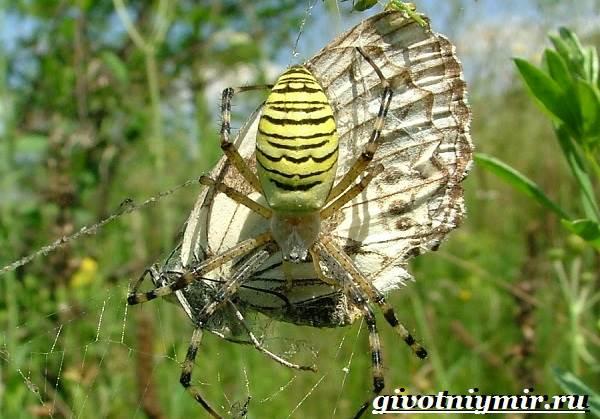 Агриопа-паук-Образ-жизни-и-среда-обитания-агриопы-8