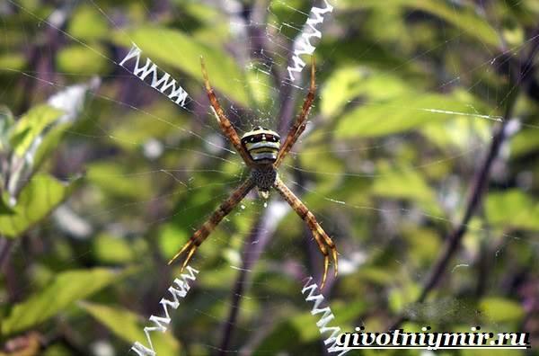 Агриопа-паук-Образ-жизни-и-среда-обитания-агриопы-9
