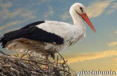Аист птица. Образ жизни и среда обитания птицы аист