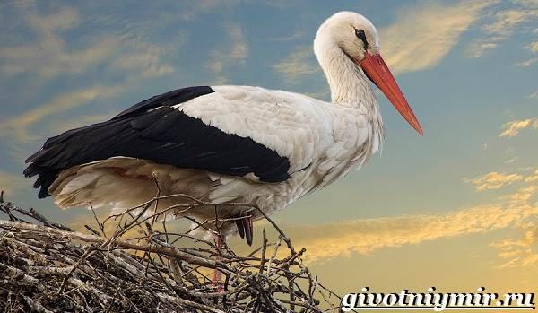 Аист-птица-Образ-жизни-и-среда-обитания-птицы-аист-1