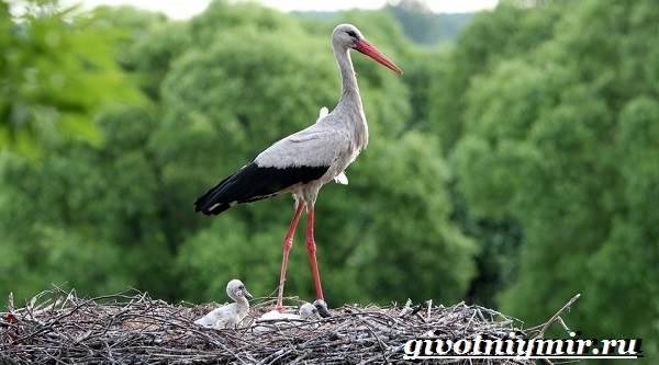 Аист-птица-Образ-жизни-и-среда-обитания-птицы-аист-10