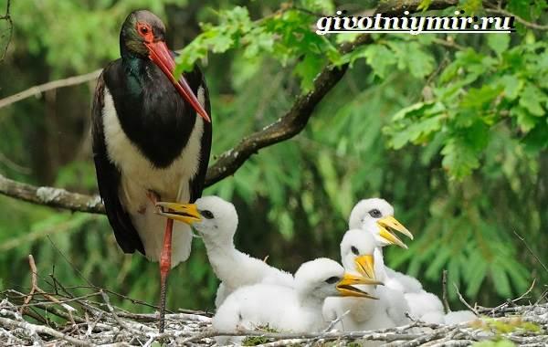 Аист-птица-Образ-жизни-и-среда-обитания-птицы-аист-11