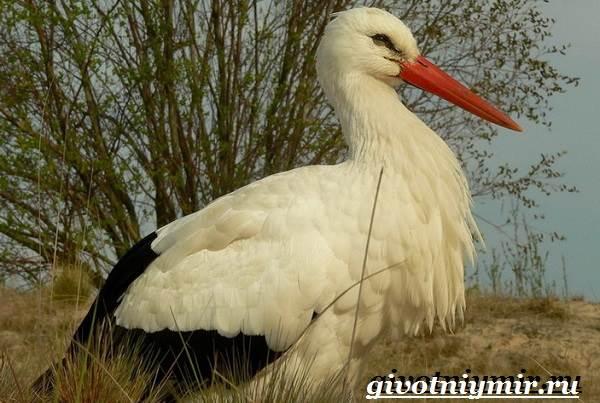Аист-птица-Образ-жизни-и-среда-обитания-птицы-аист-3